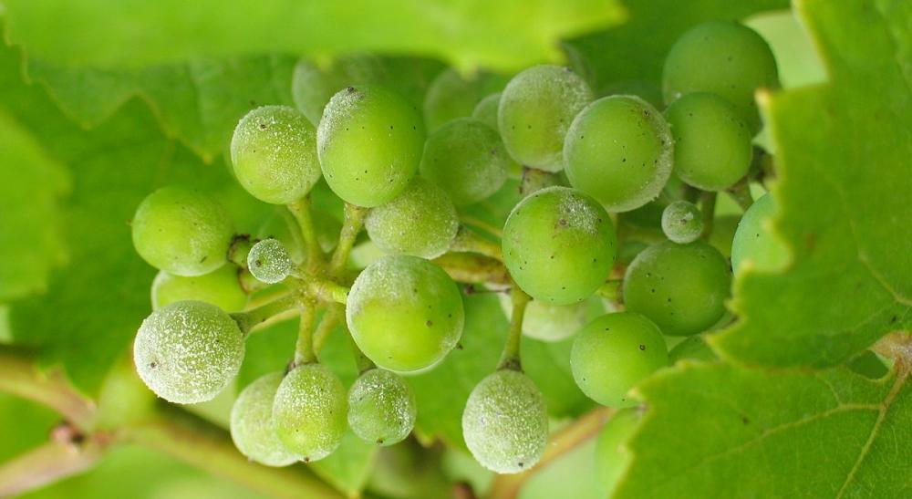 Egy fürt szőlő